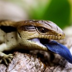 blue tongued lizard