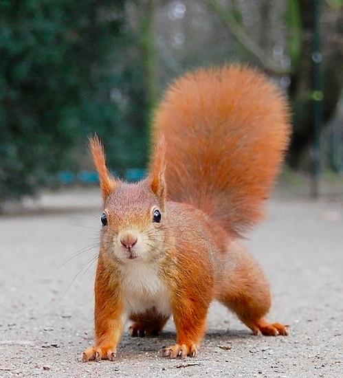 redsquirrel.jpeg