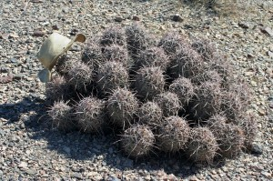 Echinocactus polycephalus with size CXL Scala hat