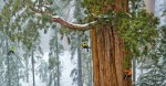 giant-sequoia-and-researchers