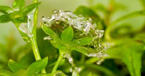 splash-cup-plant