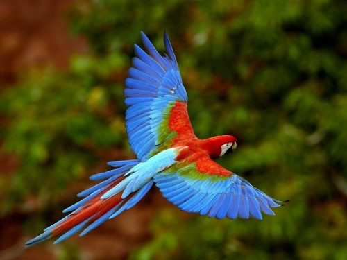 red-and-green-macaw-in-flight-brazil-pictures