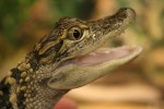 baby-aligator-smiling