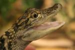 baby-aligator-smiling