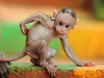 baby-macaque