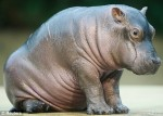 babyhippo