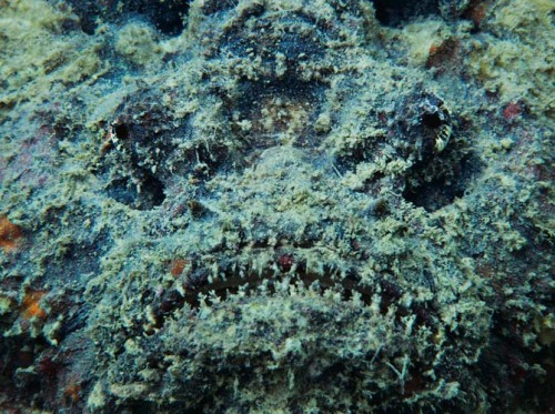 stonefish