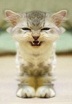 angry-kitty