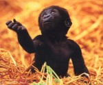 baby-gorilla