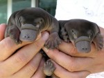 babyplatypuses