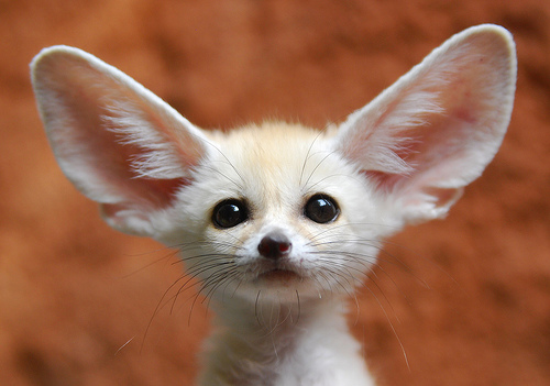 fennec-fox-baby