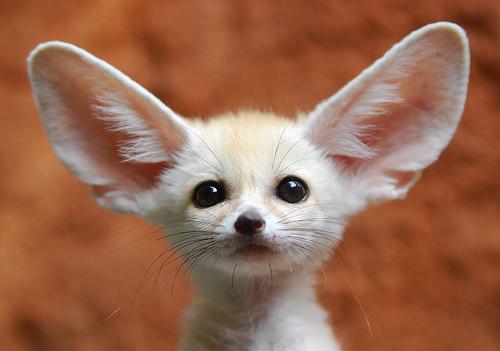 fennec-fox-baby