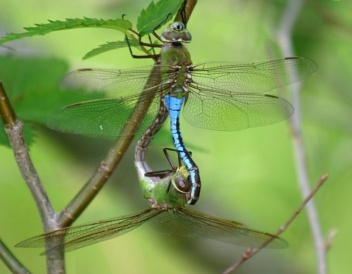 mating_anax_junius