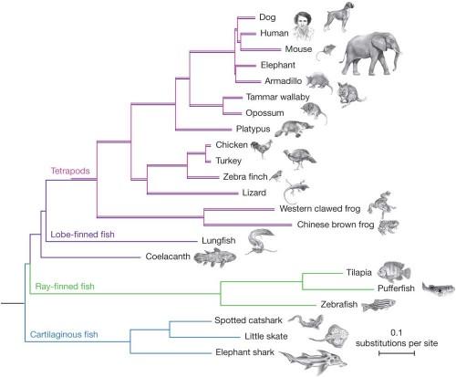 vertebrate phylogeny diagram