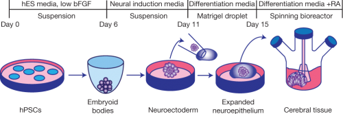 organoid_method