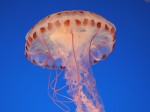Jellyfish_beautiful