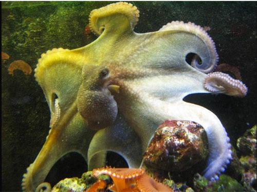 octopet