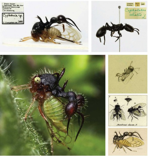 Cyphonia clavata: The treehopper Cyphonia clavata with a mimic of an ant (top right) extending from its pronotum (photos: M. Stensmyr). The 'ant' presumably serves to deter predators as the treehopper struts about its habitat (lower left, photo: S. Sanowar). This peculiar-looking insect has also been depicted historically several times, as exemplified here by illustrations by (from top to bottom) Caspar Stoll (1788), Jean Antoine Coquebert de Montbret (1799–1804) and William W. Fowler (1900).