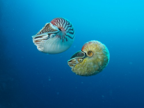 Nautilus pompilius (left) swimming next to a rare Allonautilus scrobiculatus (right) off of Ndrova Island in Papua New Guinea.Peter Ward