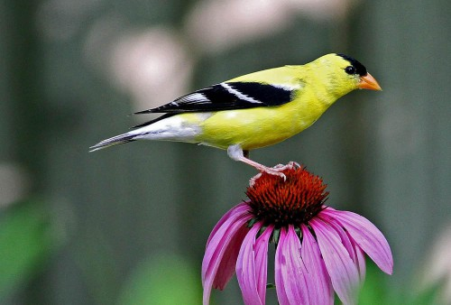 american_goldfinch_on_purple_coneflower_credit_will_stuart