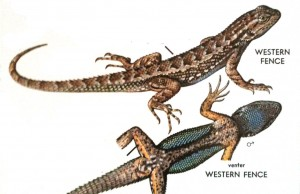Western fence lizard, crappy phone camera shot from Stebbins' Western Reptiles and Amphibians, Second Edition, painting by Robert C. Stebbins