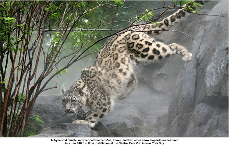 Himalayan leopard - photo#11