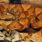 _62820648_copperhead