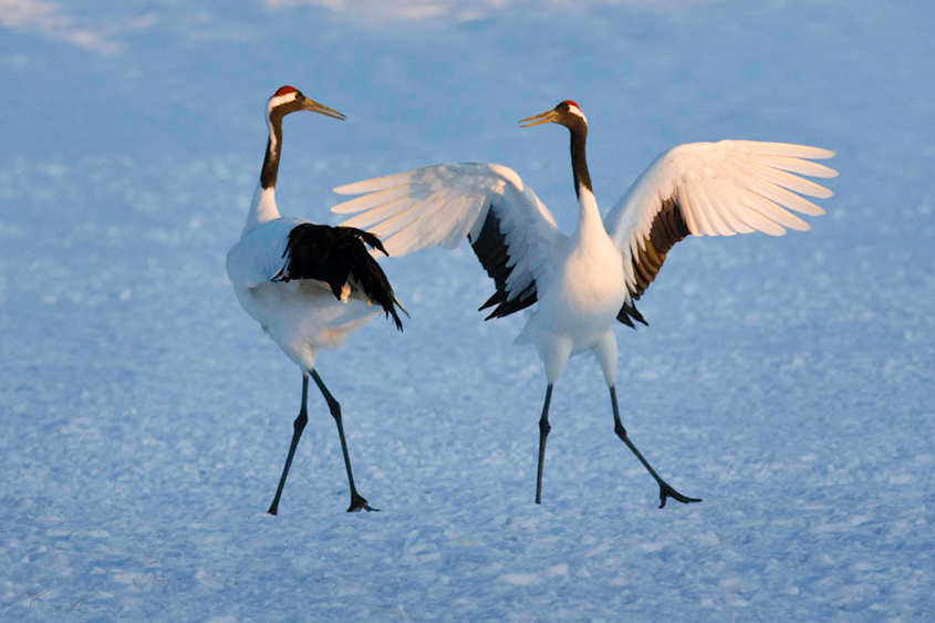 Dancing Japanese Cranes, Lake Hokkaido