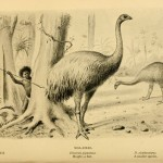 new-zealands-delicious-defenseless-moa