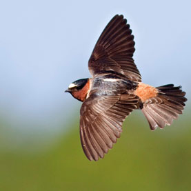 swallows-may-be-evolving-to-dodge-traffic_1