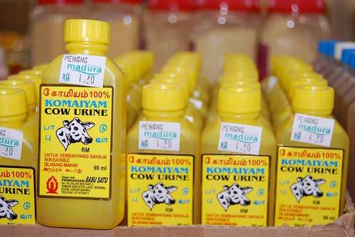 cow urine3