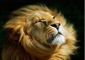 Chin up Lion!