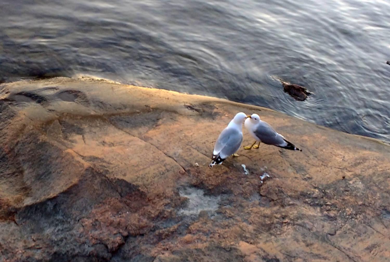Commonseagulls