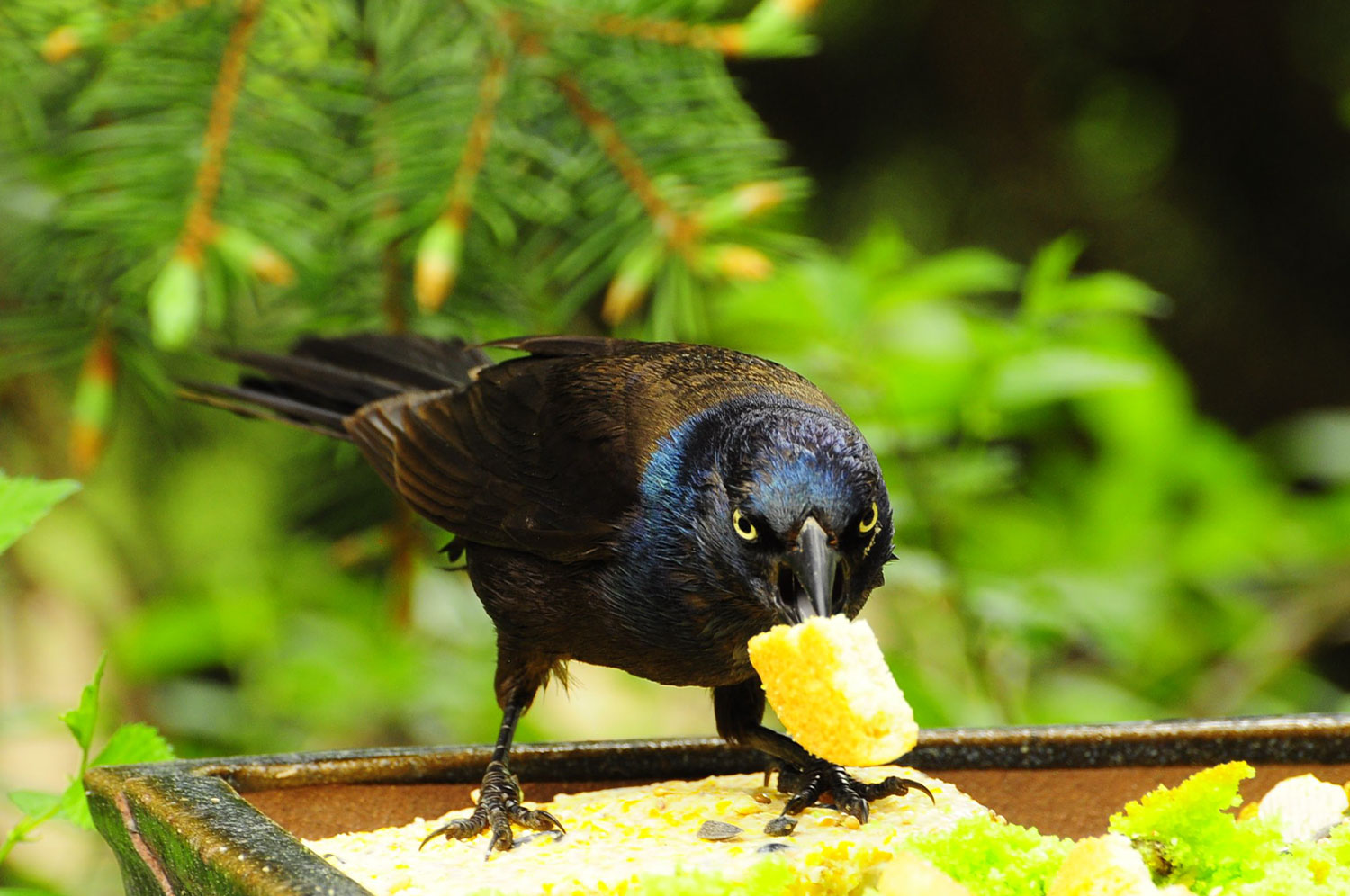 CookieGrackle