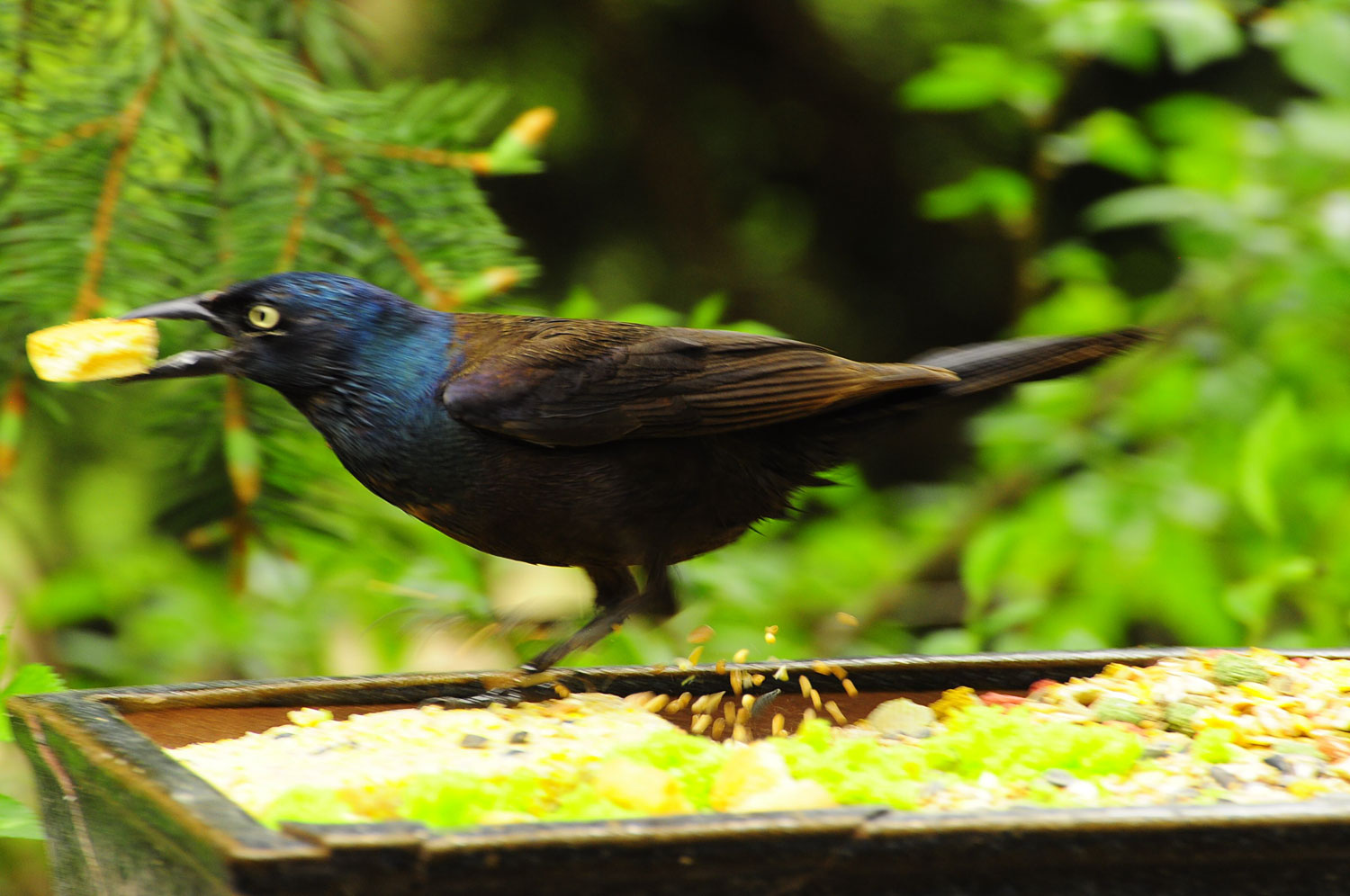 CookieGrackle1
