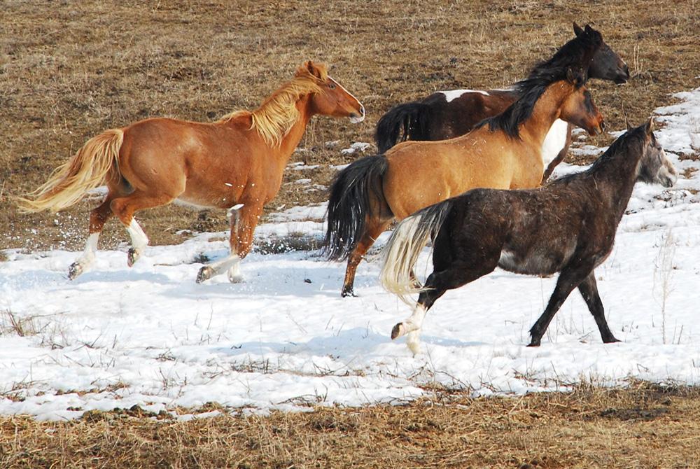HorsesRun1