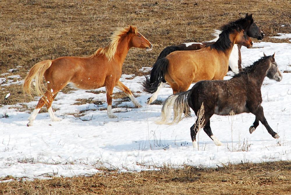 HorsesRun2Woo
