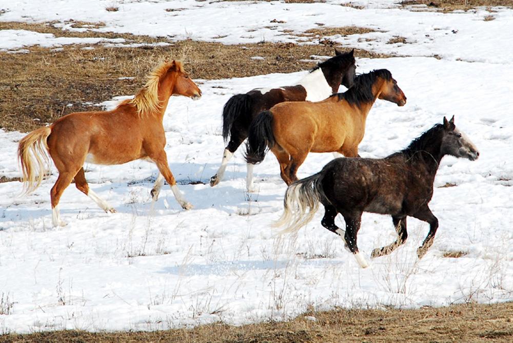 HorsesRunCrop