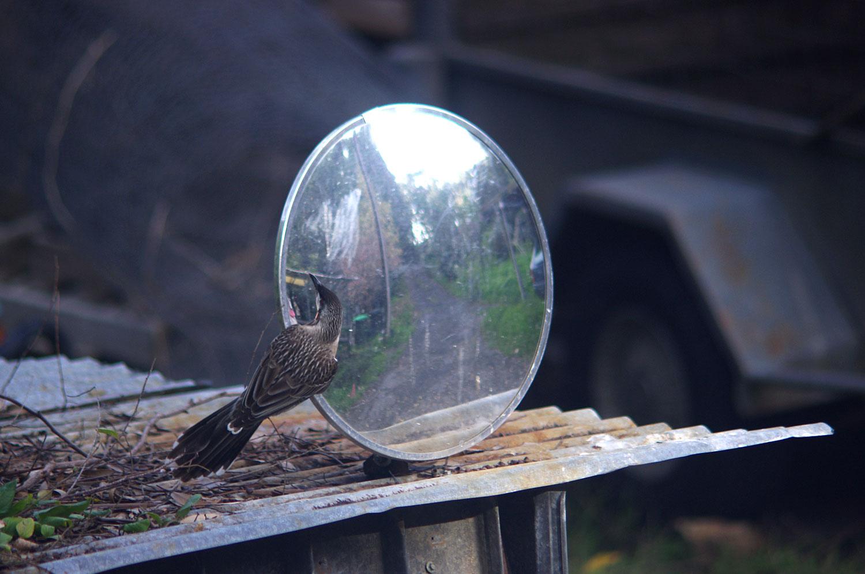 wattlebird1