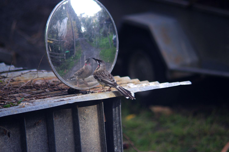 wattlebird2