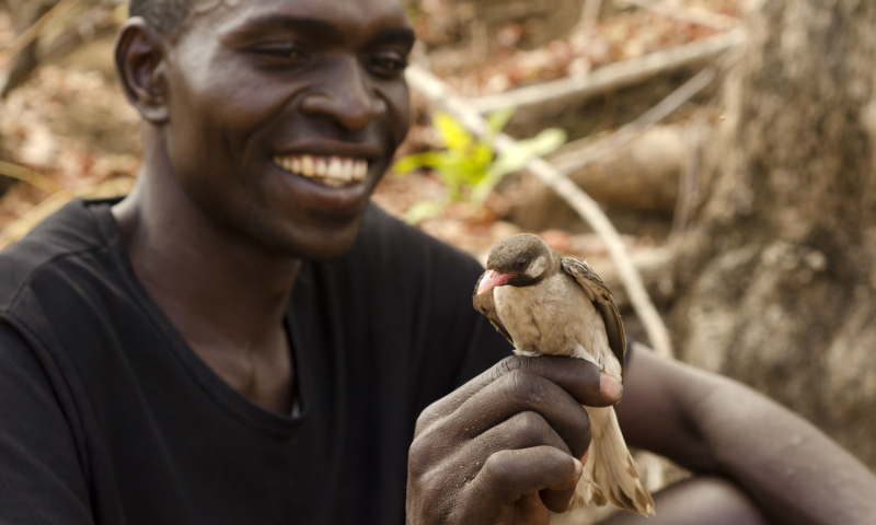 Yao honey-hunter Orlando Yassene holds a male greater honeyguide temporarily captured for research in the Niassa National Reserve, Mozambique. Credit: Claire Spottiswoode.
