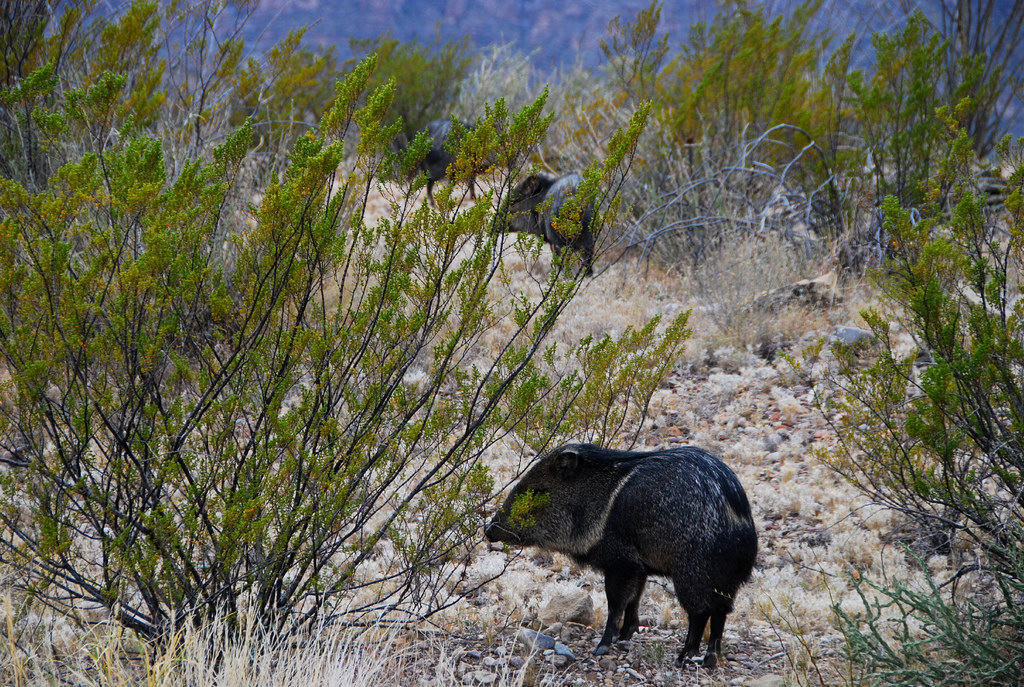 Javelinas in the creosote | Photo: Dave Hensley, some rights reserved.
