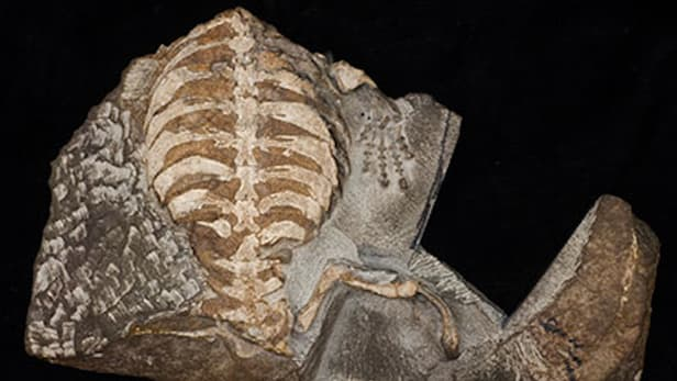 An 8-year-old boy dug up this fossilized turtle that scientists believe helps explain the turtle's earliest uses of its shell (Credit: Wits University)