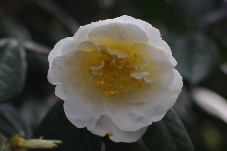 whitecamellia1