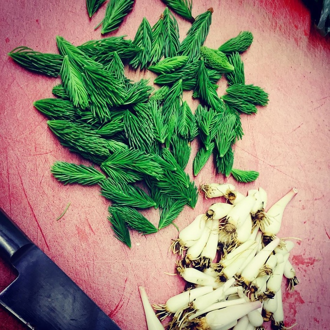 Spring Spruce Tips and Wild Ramps.