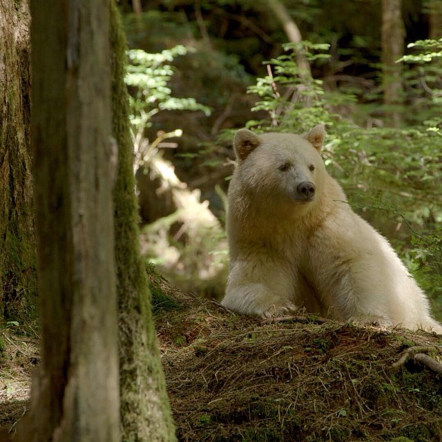 A Kermode or Spirit Bear from the Great Bear Rainforest. The Kermode is a rare subspecies of the American black bear that holds a prominent place in oral traditions of many First Nations peoples in the British Columbia area. (Wikipedia)