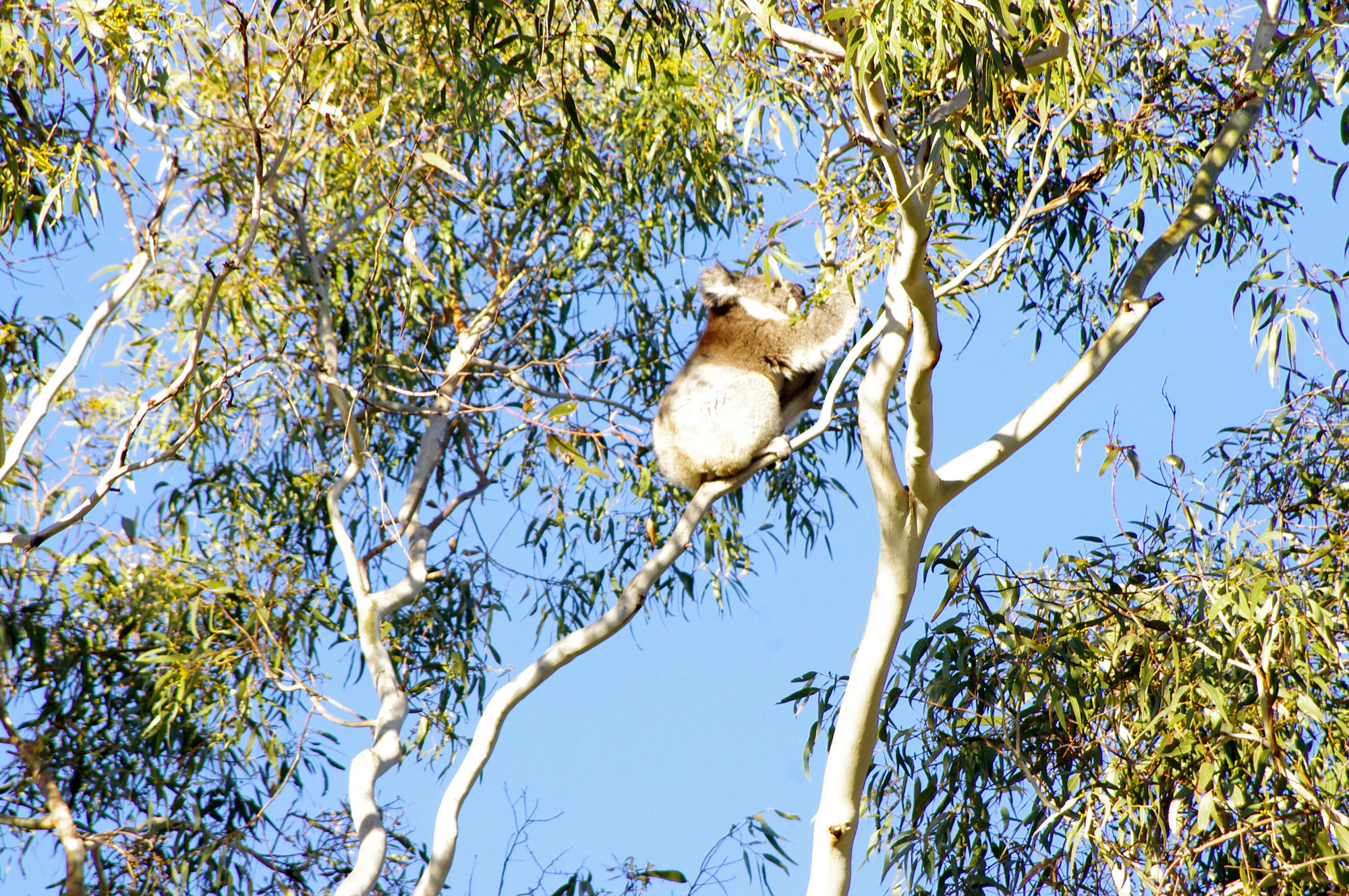 koala5