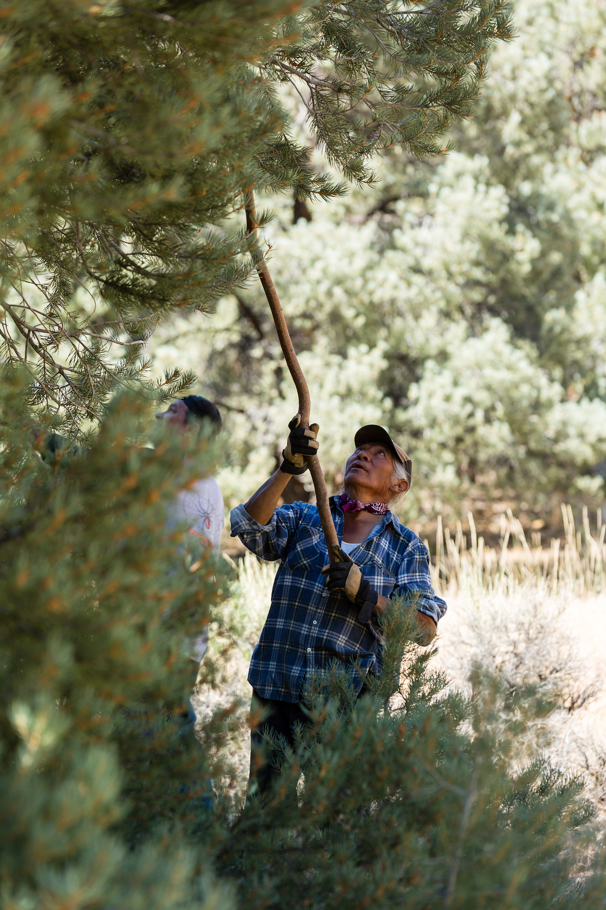 Johnny Bob, a spiritual leader from Yomba Shoshone Tribe, gathering pine cones in a mountain valley in central Nevada. (Photo by Joseph Zummo).
