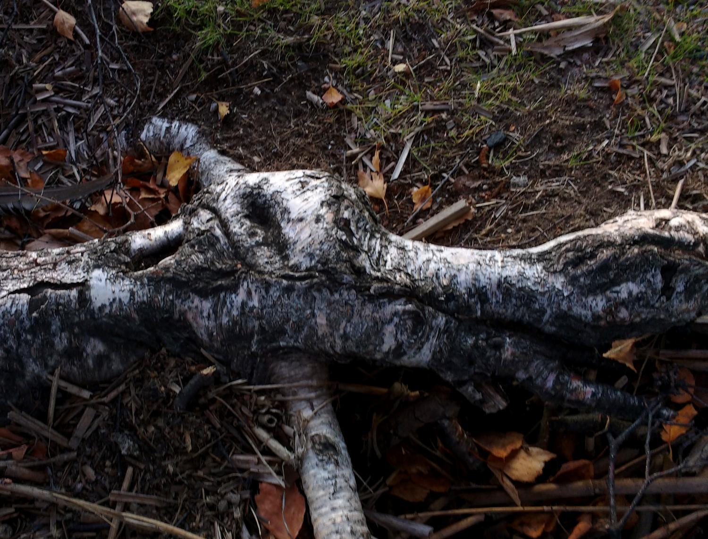 birch_root_autumn