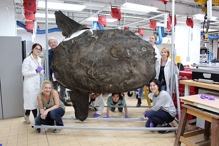 The conservation team around the Natural History Museum of London's century-old sunfish, which was stuffed with all kinds of odd materials. All photos in this section courtesy of the Natural History Museum, London.